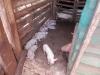 Swikunda Schweinchen Nachwuchs