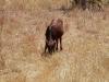 Nachwuchs einer Swikunda Kuh
